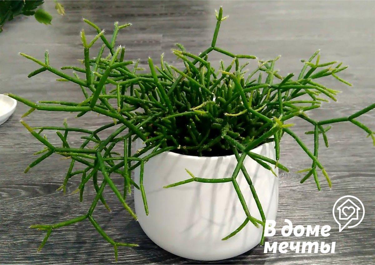 Есть ли кактус без иголок? Колючие кактусы - не проблема, если у вас в доме растет рипсалис!